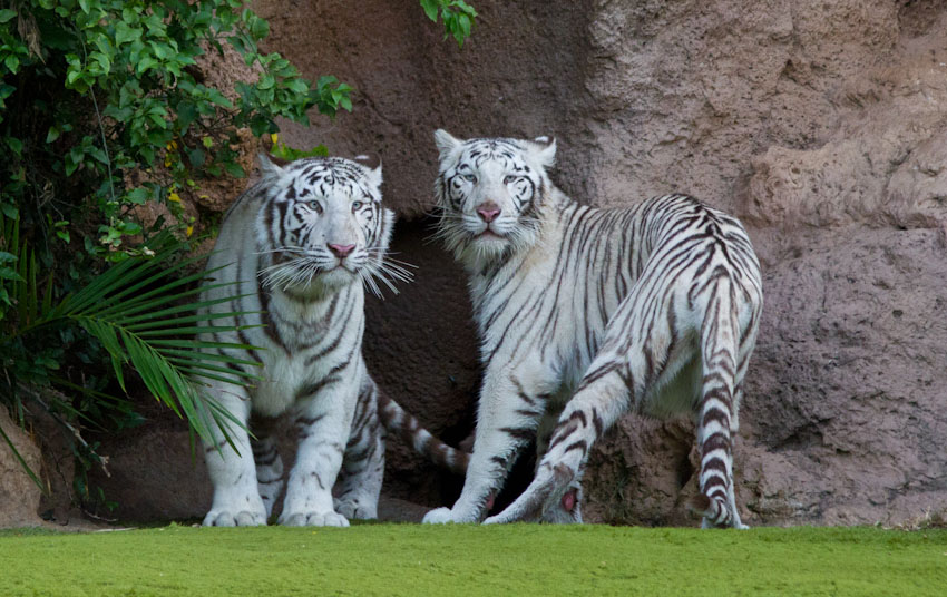 bengal-tigers-Copy